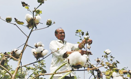 Kharif season sees king cotton making a big comeback
