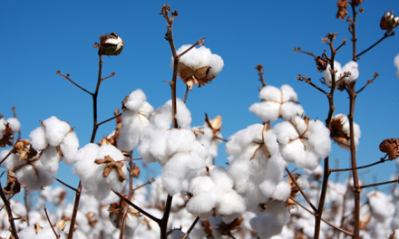 Organic cotton becomes preferred fibre choice for consumers