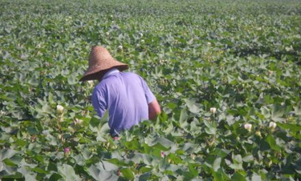 China plans to introduce qualified overseas traders for cotton futures