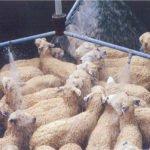 Australian wool under pressure over practice of mulesing