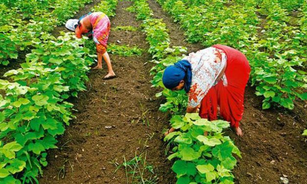 Maharashtra State Cabinet to loan Rs. 1800-cr to its Cotton federation